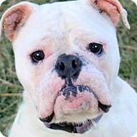 Adopt A Pet :: VINCENT(ADORABLE PB BULLDOG!! - Wakefield, RI