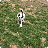 Adopt A Pet :: checkers - mooresville, IN