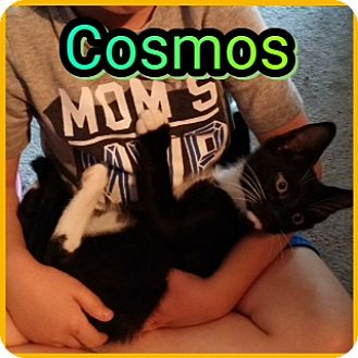 Domestic Mediumhair Cat for adoption in Kennedale, Texas - Cosmos