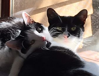 Domestic Shorthair Cat for adoption in Pasadena, California - Madison