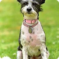 Adopt A Pet :: Inka - Santa Monica, CA