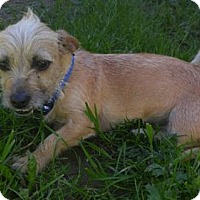 Adopt A Pet :: Phyllis, a sweet terrier mix - Arlington, WA