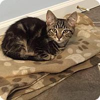Adopt A Pet :: Peyton - Covington, KY