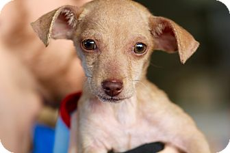 Terrier (Unknown Type, Small)/Chihuahua Mix Puppy for adoption in Los Angeles, California - Chico