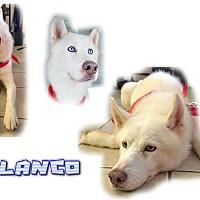 Adopt A Pet :: Blanco - Seminole, FL