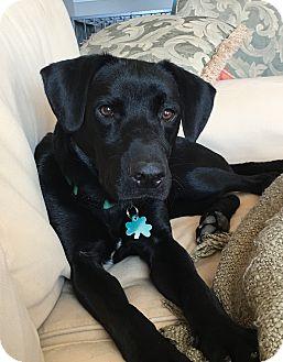 Labrador Retriever Mix Dog for adoption in Alpharetta, Georgia - Benson