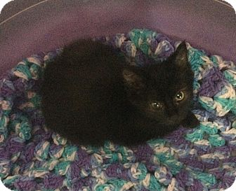 Domestic Shorthair Kitten for adoption in Greensburg, Pennsylvania - Amidala