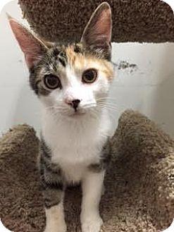 Domestic Shorthair Kitten for adoption in Lancaster, Pennsylvania - Smidgeon