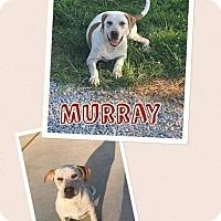 Pointer/American Bulldog Mix Dog for adoption in Mt. Vernon, Illinois - Murray