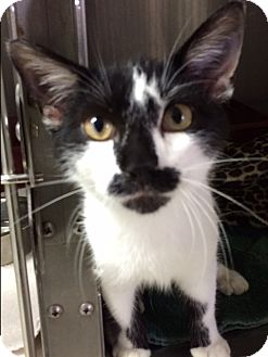 Domestic Shorthair Kitten for adoption in St. Louis, Missouri - Groucho