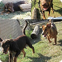 Adopt A Pet :: Boomer - Ponca City, OK