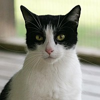 Domestic Shorthair Cat for adoption in North Fort Myers, Florida - Jax