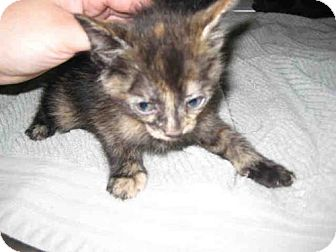 Domestic Mediumhair Cat for adoption in Norco, California - *PIXY