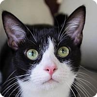 Domestic Shorthair Kitten for adoption in Fort Lauderdale, Florida - Chardonnay