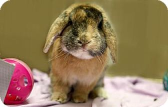 Mini Lop Mix for adoption in Voorhees, New Jersey - Potter