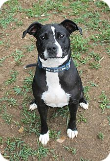 Staffordshire Bull Terrier/Labrador Retriever Mix Dog for adoption in Homewood, Alabama - Cora