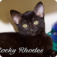Domestic Shorthair Kitten for adoption in Livonia, Michigan - Rocky Rhodes