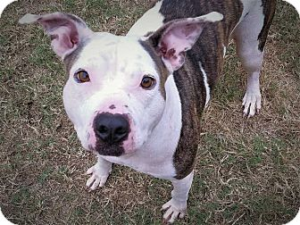 Staffordshire Bull Terrier Mix Dog for adoption in Allen, Texas - Diane