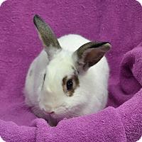 Adopt A Pet :: Snowball - Wheaton, IL