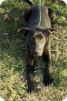 Labrador Retriever Mix Dog for adoption in Moulton, Alabama - Sidney