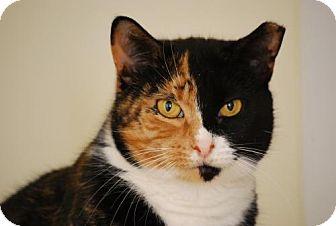 Calico Cat for adoption in Bensalem, Pennsylvania - Tori