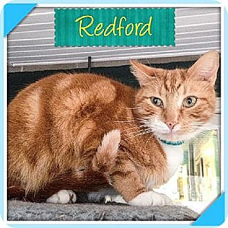 Domestic Shorthair Cat for adoption in Huntington, New York - Redford