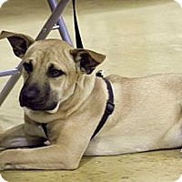 Shepherd (Unknown Type)/Terrier (Unknown Type, Small) Mix Dog for adoption in Key Biscayne, Florida - Logan