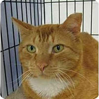 Adopt A Pet :: Bobcat - Jenkintown, PA