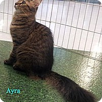 Adopt A Pet :: Ayra - Chandler, AZ