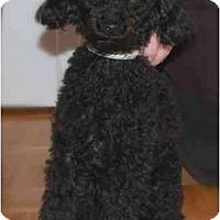 Adopt A Pet :: Ringo - Rigaud, QC
