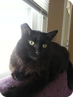 Domestic Mediumhair Cat for adoption in Cincinnati, Ohio - zz 'Inca' courtesy post