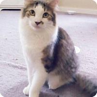 Domestic Mediumhair Cat for adoption in Plantsville, Connecticut - Dash
