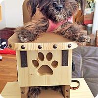 Adopt A Pet :: Pepper - Chesterfield, MO