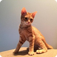 Adopt A Pet :: Pumpkin - Medford, NJ