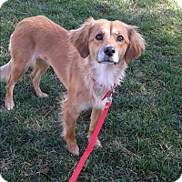 Adopt A Pet :: Dixie - Las Vegas, NV