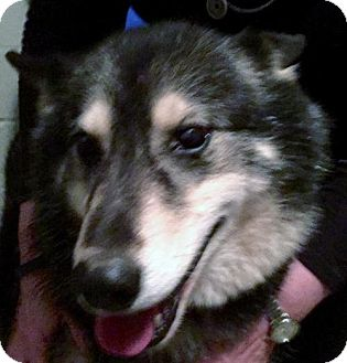 Siberian Husky/German Shepherd Dog Mix Dog for adoption in Memphis, Tennessee - Sophie~Sunshine!