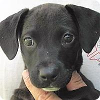 Adopt A Pet :: Ariel - Germantown, MD