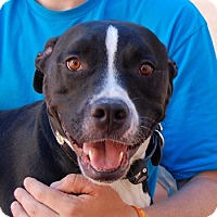 American Staffordshire Terrier/American Pit Bull Terrier Mix Dog for adoption in Las Vegas, Nevada - Maverick