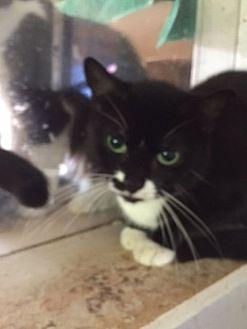 Domestic Shorthair Cat for adoption in Porter, Texas - Cassandra