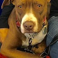 Labrador Retriever Mix Dog for adoption in San Diego, California - Kona