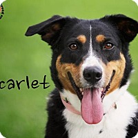 Adopt A Pet :: Scarlet - Joliet, IL
