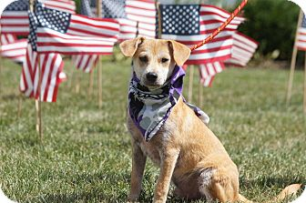 Labrador Retriever/Feist Mix Dog for adoption in Hanover, Pennsylvania - Fetchin' Styxx