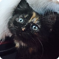Domestic Longhair Kitten for adoption in Fort Lauderdale, Florida - Michonne
