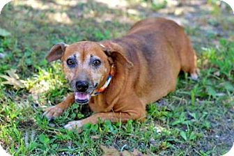 Dachshund Mix Dog for adoption in Andover, Connecticut - RED LADY