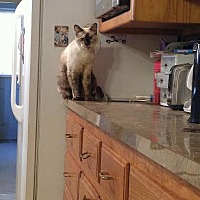 Siamese Cat for adoption in Baton Rouge, Louisiana - Belladonna
