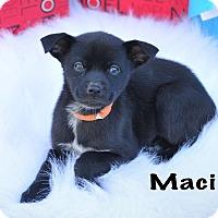 Adopt A Pet :: Maci - Colmar, PA