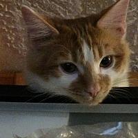 Adopt A Pet :: Loki - Houston, TX