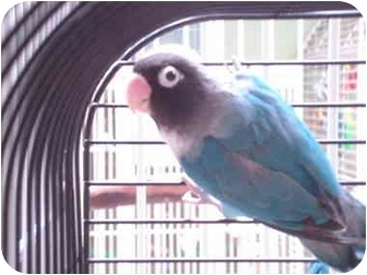 Lovebird for adoption in Redlands, California - Jetta