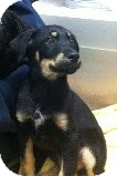 Shepherd (Unknown Type) Mix Puppy for adoption in Russellville, Kentucky - Roger