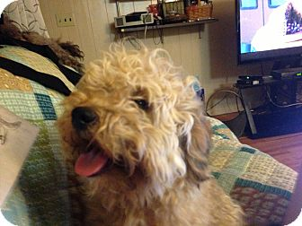 Poodle (Miniature)/Goldendoodle Mix Dog for adoption in Hazard, Kentucky - Bear